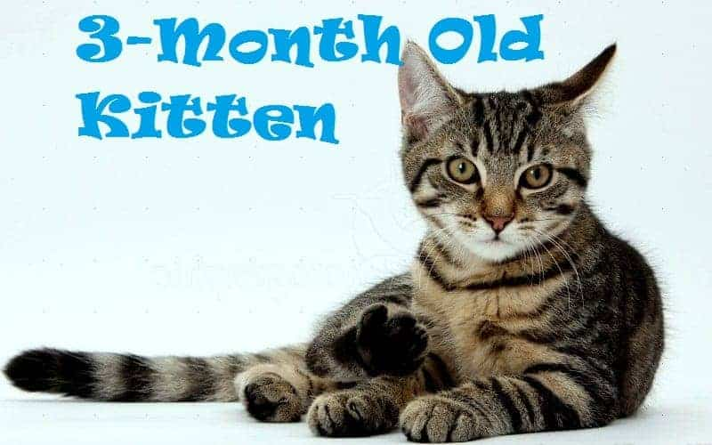 3 month old kitten