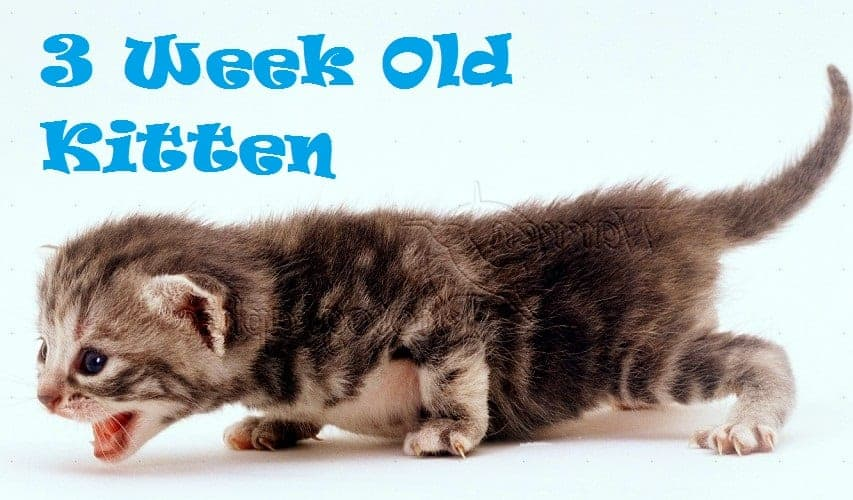 3 Week Old Kitten Everything You Must Know Kitten Development