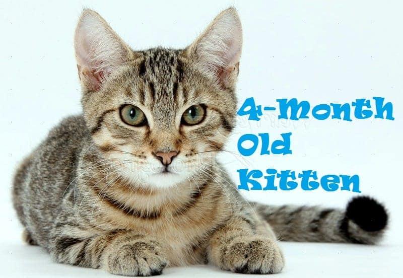 4-month old Kitten