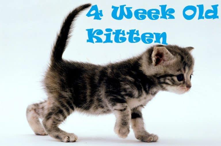 4 Week Old Kitten
