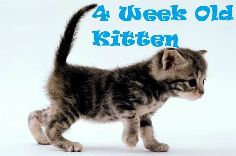 How To Raise And Care For 4 Week Old Kitten Kitten Development
