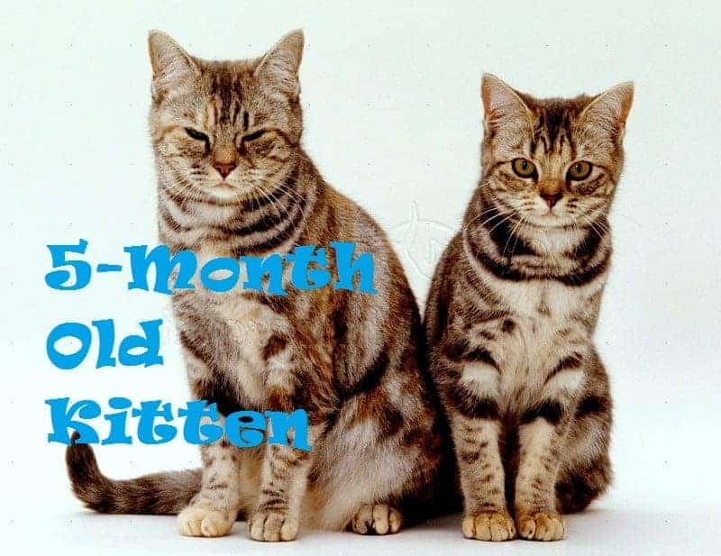 5 Month Old Kitten Care Tips