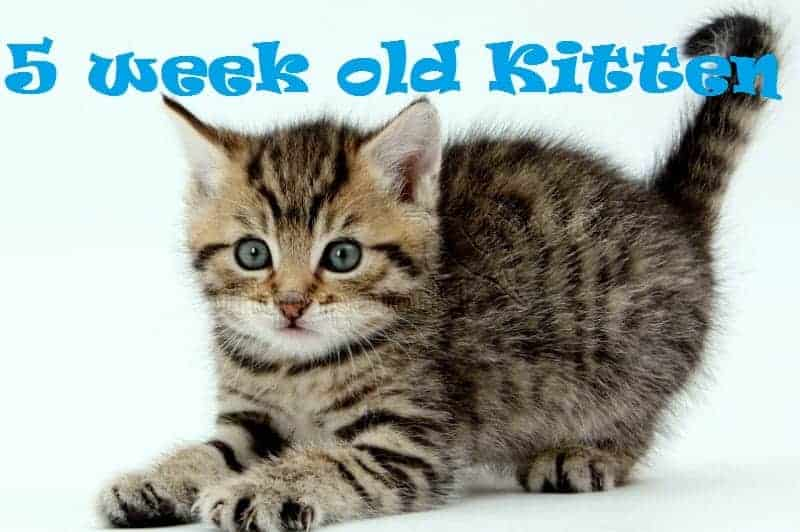 5 Week Old Kitten Care Tips Kitten Development 2020