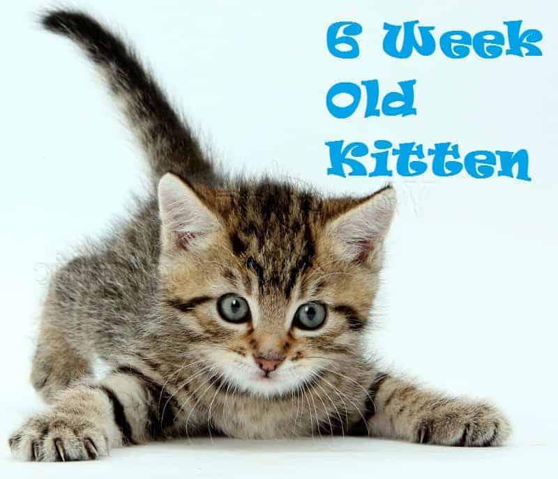 6-week old kitten