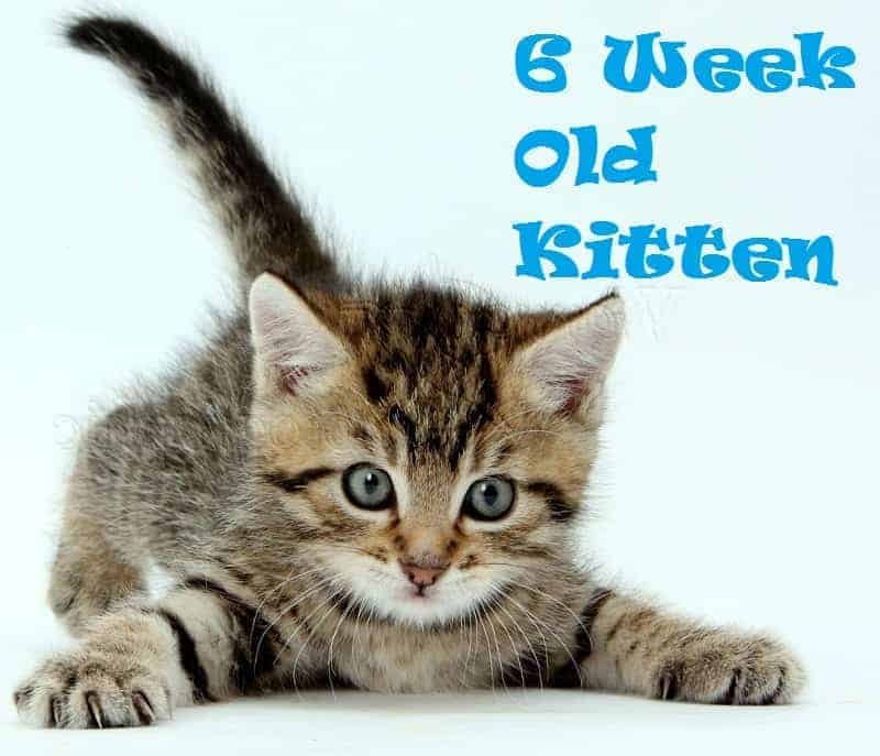 6-Week Old Kitten Care Tips