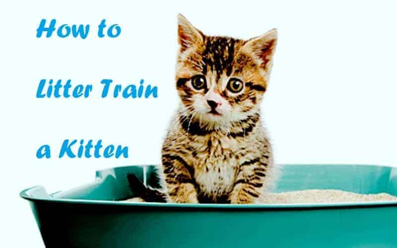 how to litter train a kitten how to litter train a kitten how to litter train a kitten