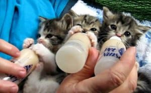 how to bottle feed a kitten