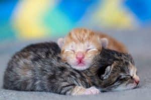 when do kitten open eyes
