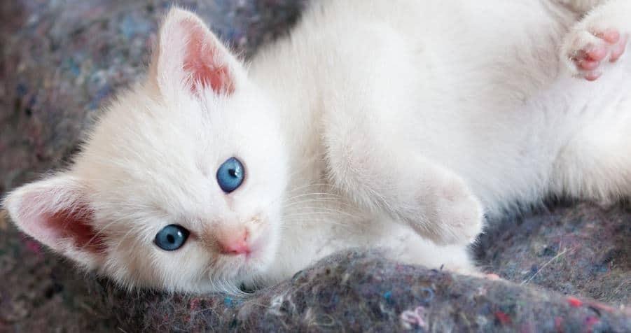 white kitten with blue eyes 3