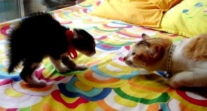 How to Introduce a Kitten to a Cat 2