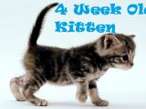 4 Week Old Kitten